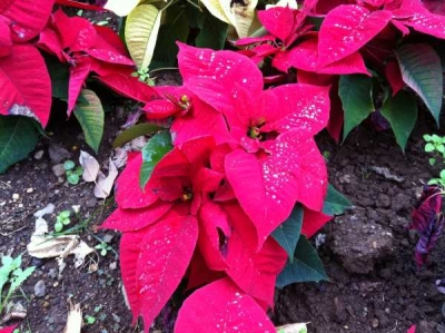 Poinsettia the Christmas Weed