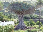 The Dragon Tree of Tenerife